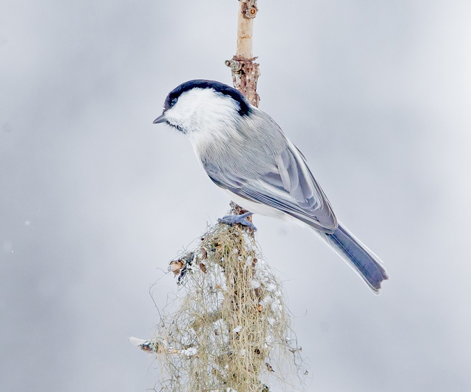 Белая лазоревка, князёк (Parus cyanus)