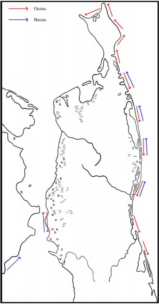 Направления весенне-осенних миграций гагар в районе Северного Сахалина