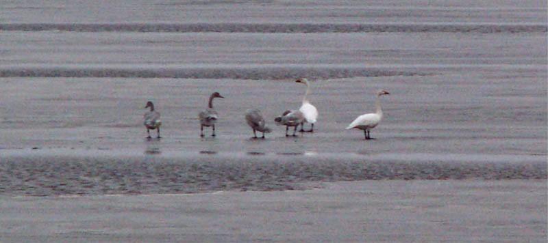 «Семья» лебедя-кликуна на осеннем пролёте. Залив Чайво, 24 октября 2005 года