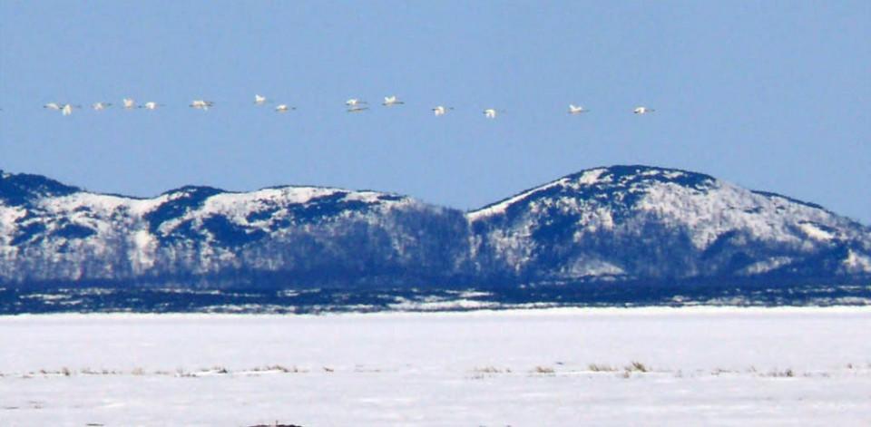 Стая лебедей-кликунов над заливом Пильтун, 5 мая 2009 года