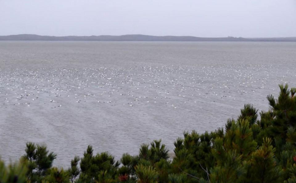 Скопление лебедей-кликунов у мыса Эрри (залив Пильтун), 14 октября 2008 года