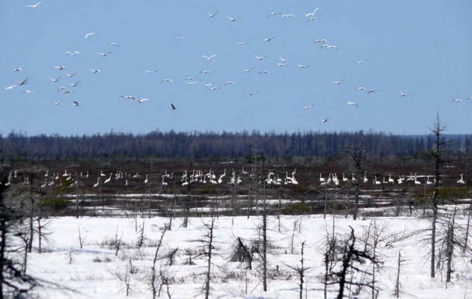 Скопление лебедей-кликунов на побережье залива Байкал, 10 мая 2008 года