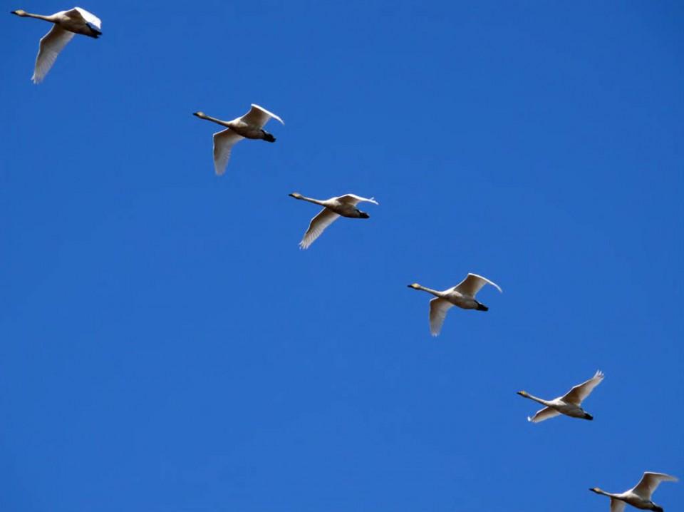 Малые лебеди. Северная коса залива Чайво, 25 сентября 2007 года