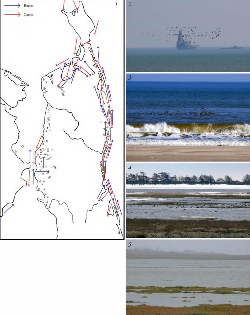 Основные направления перемещений кряквы, чирка-свистунка, свиязи и шилохвости в период сезонных миграций на Северном Сахалине