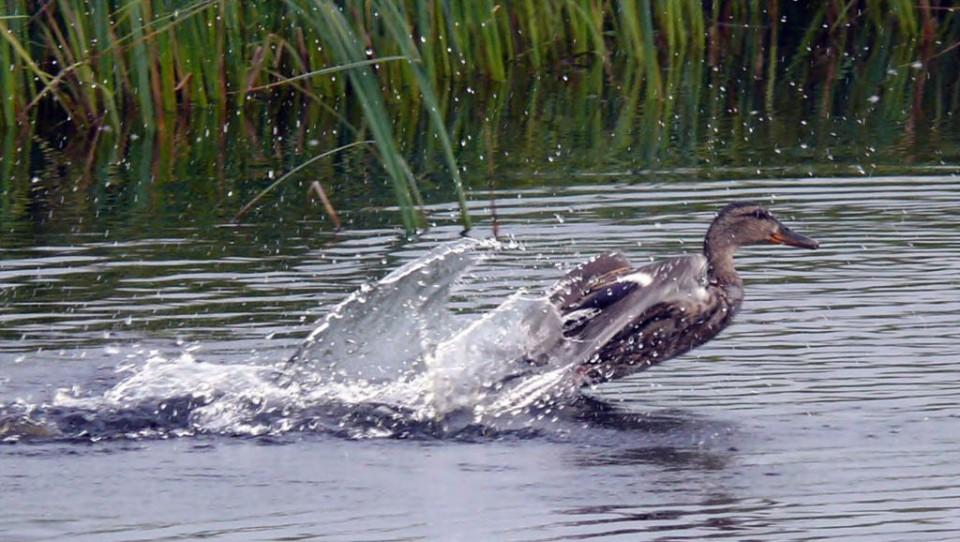 Самка кряквы, отводящая от птенцов. Северная коса залива Чайво, 28 июля 2010 года