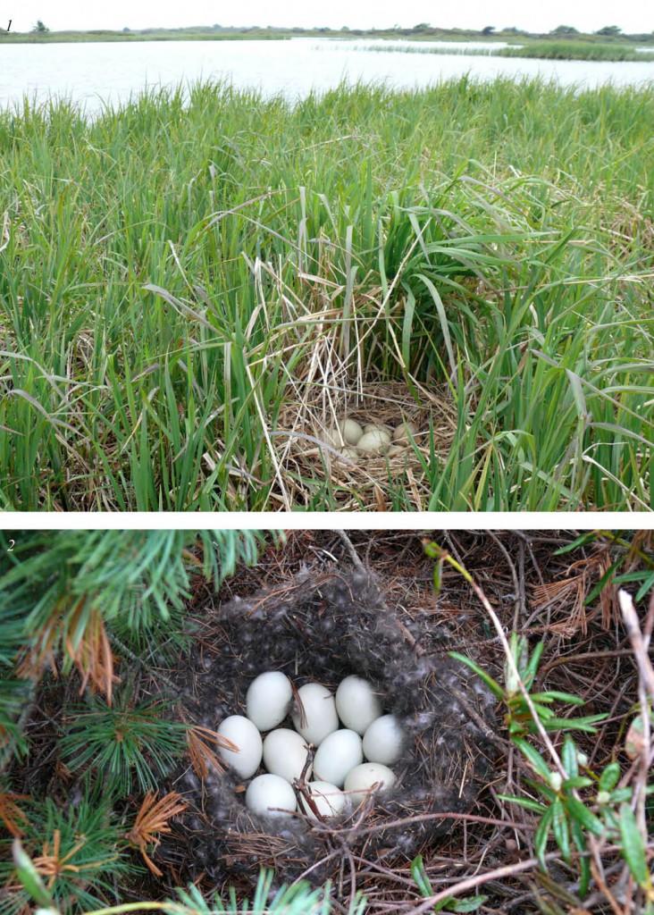 Гнездо (1) и кладка (2) кряквы на северной косе залива Чайво: 7–26 июня 2009 года, 2–25 июня 2007 года