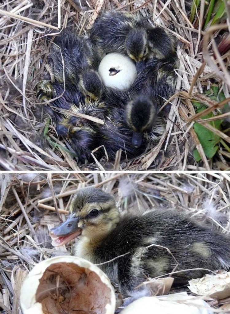 Птенцы кряквы. Северная коса залива Чайво: июль 2009 года