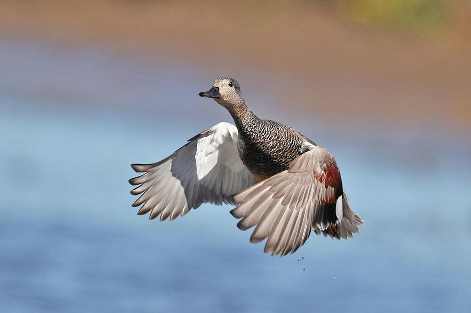 Серая утка — Anas strepera strepera
