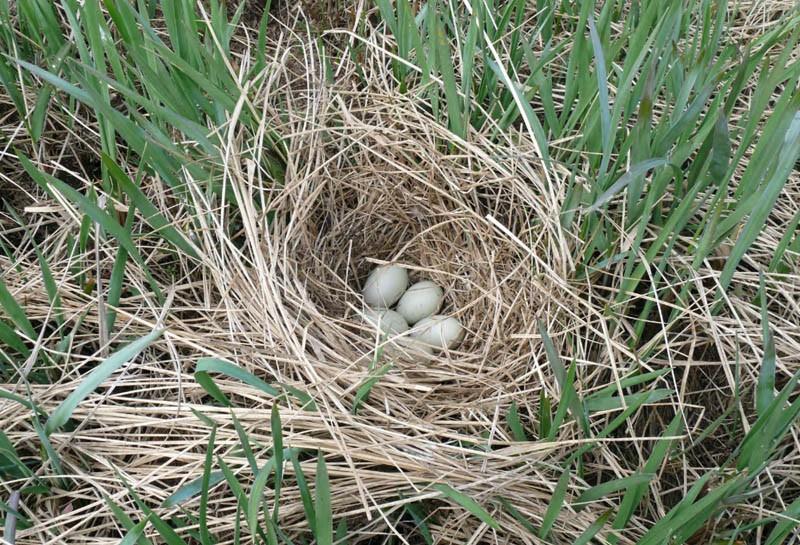 Гнездо свиязи на побережье залива Пильтун, 24 июня 2010 года