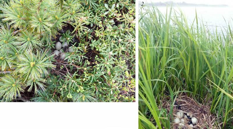 Места расположения гнёзд шилохвости на северной косе залива Чайво