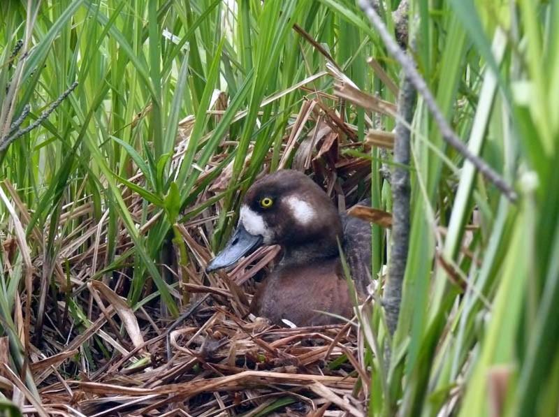 Самка морской чернети на гнезде. Северная коса залив Чайво, 28 июня 2009 года