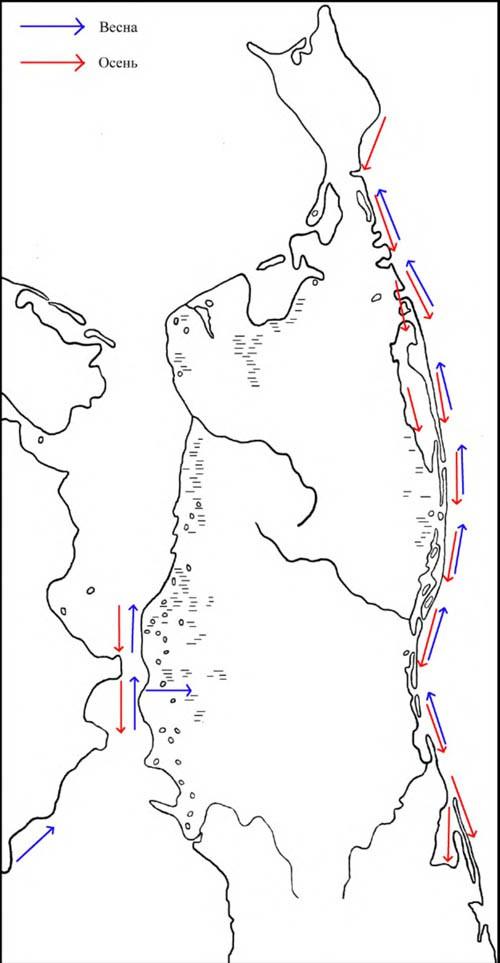 Направление сезонных перемещений гоголей на Северном Сахалине