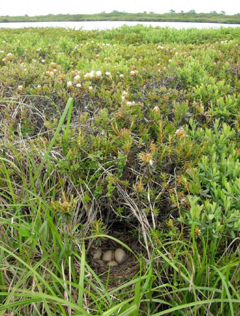 Гнездо американской синьги на северной косе залива Чайво, 18 июля 2007 года