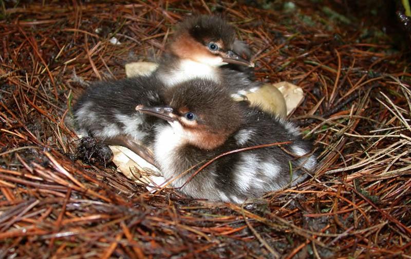 Птенцы длинноносого крохаля. Северная коса залива Чайво, 24августа 2005 года