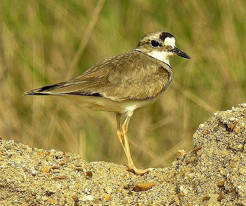 Уссурийский зуёк — Charadrius placidus
