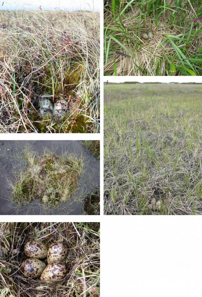 Места расположения гнёзд икладка травника напобережье заливов Чайво