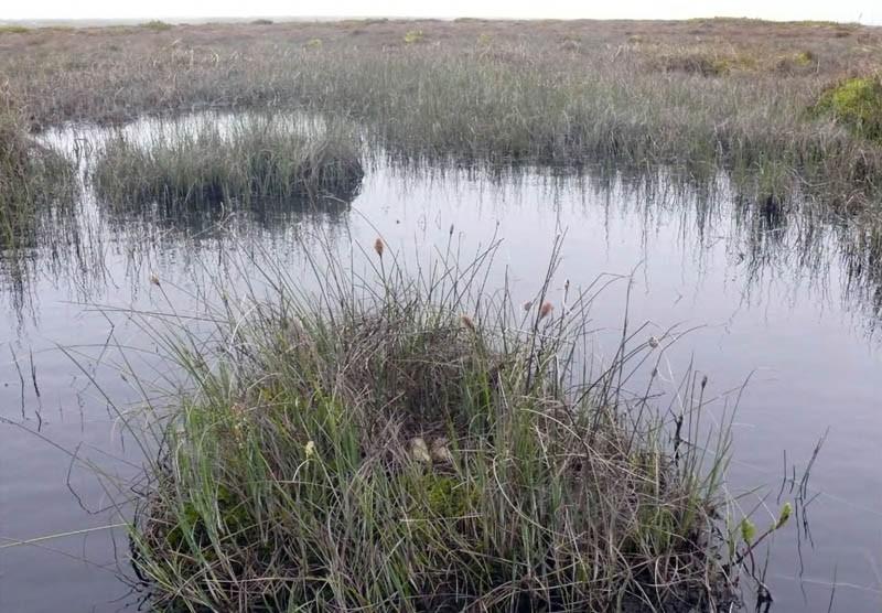 Гнездо круглоносого плавунчика. Северная коса залива Пильтун, 20 июня 2009 года