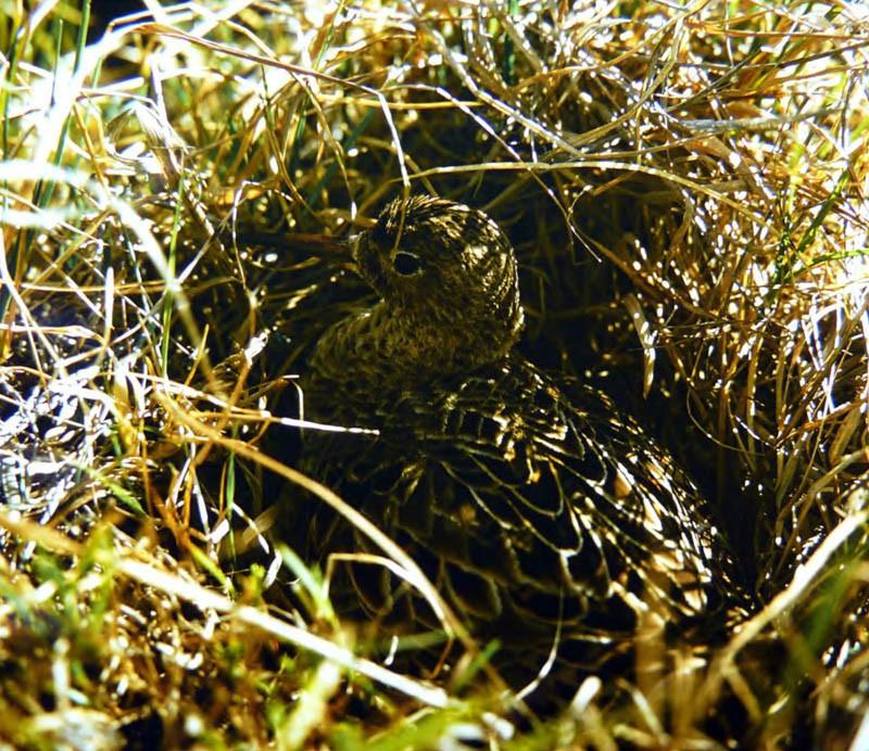 Самка турухтана на гнезде