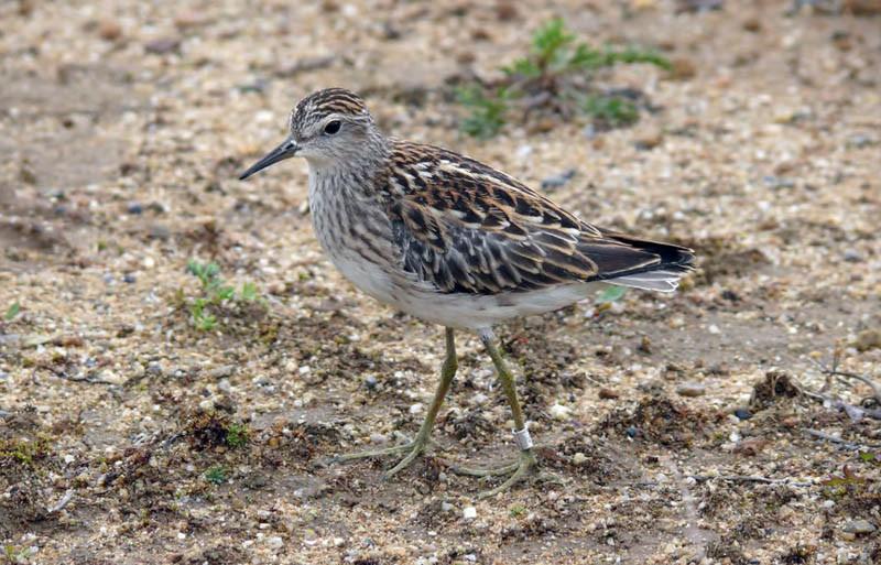 Длиннопалый песочник (молодая птица). Залив Одопту, 17августа 2010 года