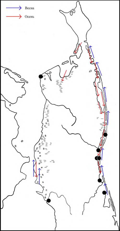 Места находок гнёзд ивыводков длиннопалых песочников, атакже направления перемещений впериод сезонных миграций наСеверном Сахалине