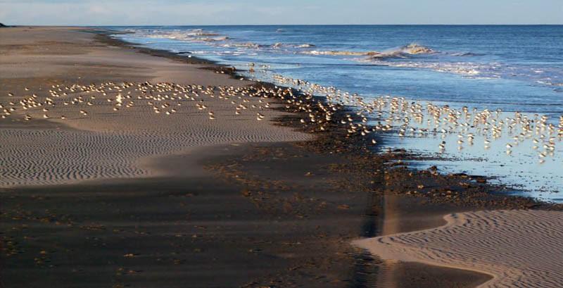 Скопление чернозобиков на морском побережье залива Чайво, 15 октября 2006 года