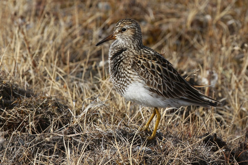Дутыш — Calidris melanotos