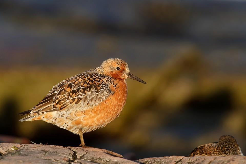 Исландский песочник — Calidris canutus rogersi