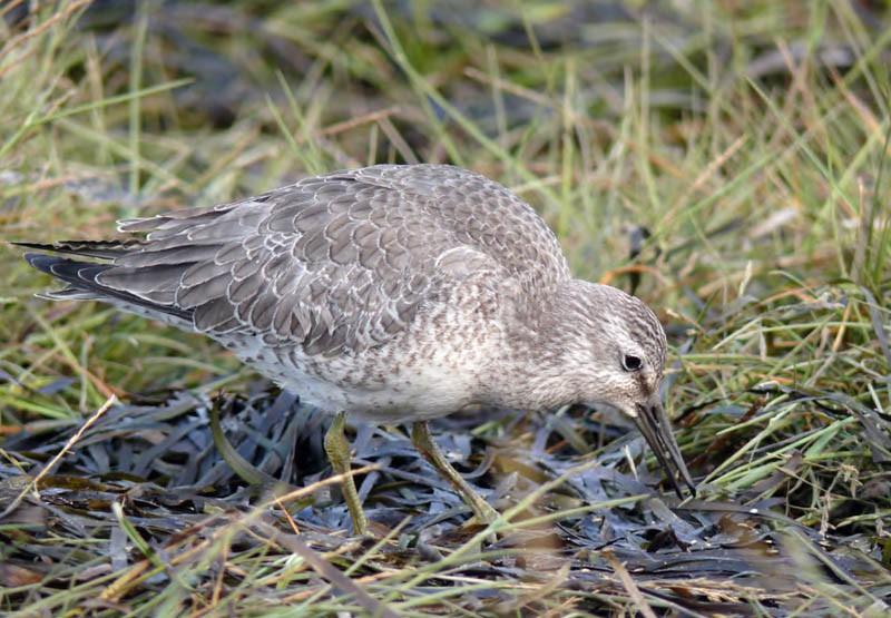 Исландский песочник (молодая птица) напобережье залива Пильтун, 4сентября 2009 года