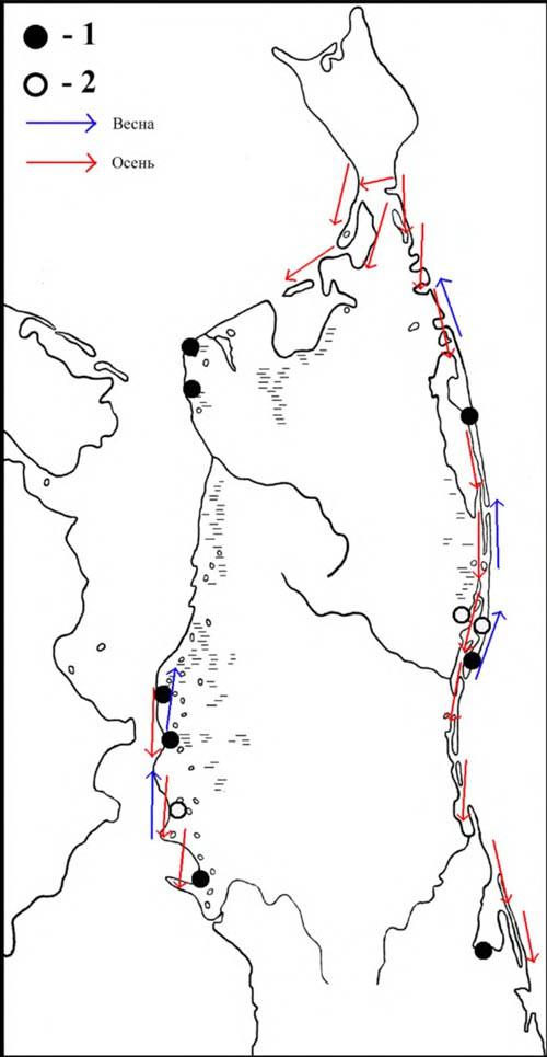 Места находок гнёзд ивыводков больших веретенников (1), встречи токующих птиц (2), атакже направления перемещений впериод сезонных миграций наСеверном Сахалине