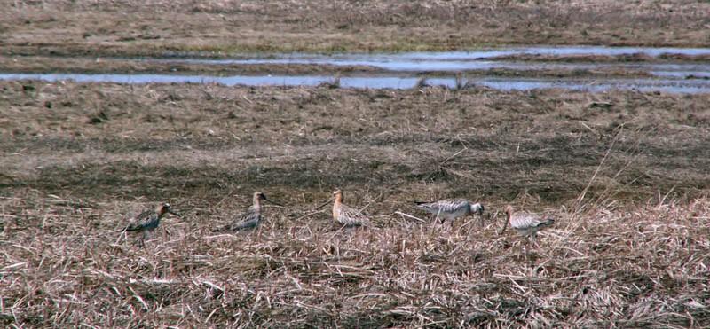 Малые веретенники вустье реки Малый Гаромай (залив Чайво), 3июня 2006 года