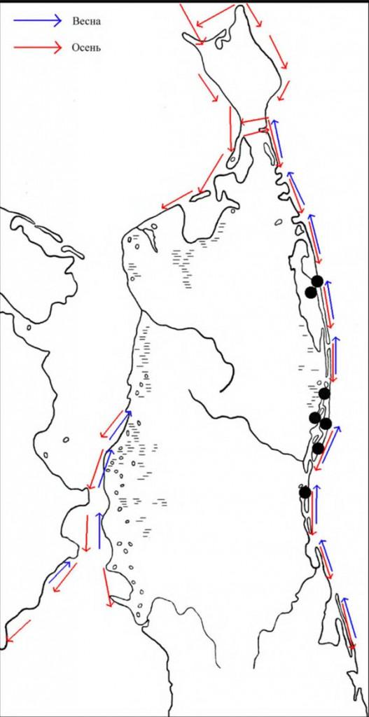 Места расположения колоний озёрной чайки наСеверном Сахалине, атакже направления еёперемещений впериод сезонных миграций