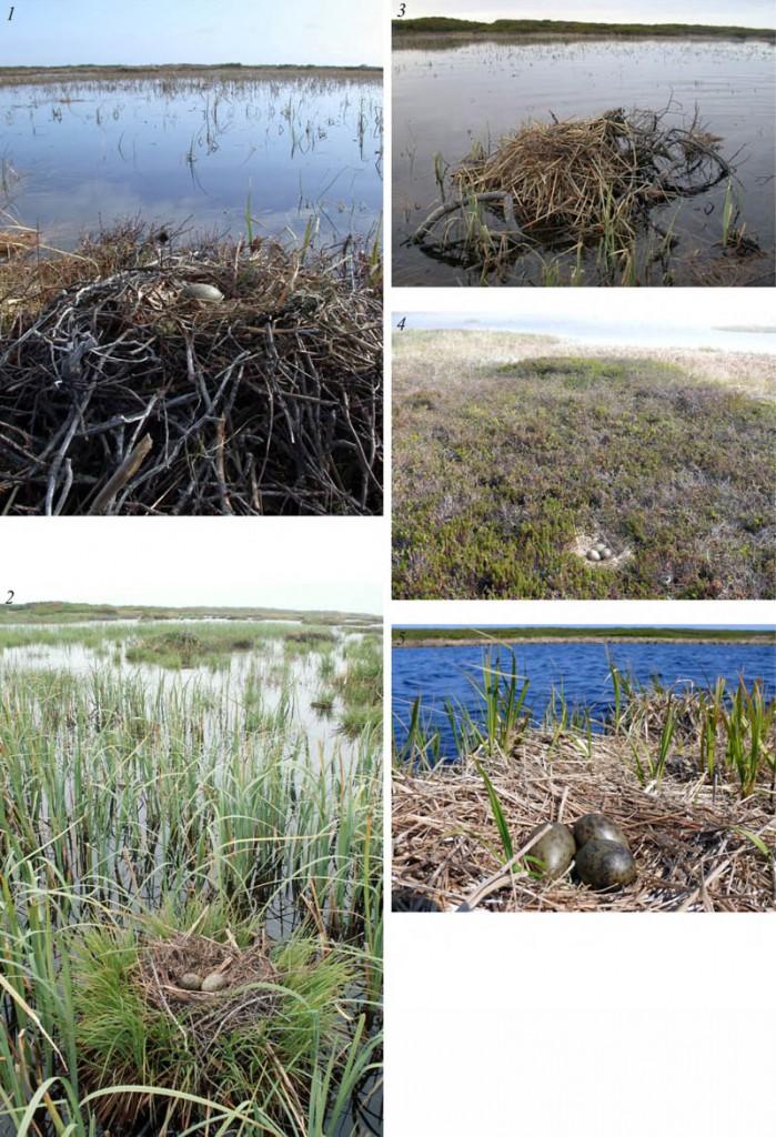 Места расположения гнёзд (1-4) икладка (5) озёрной чайки напобережье заливов Чайво иПильтун