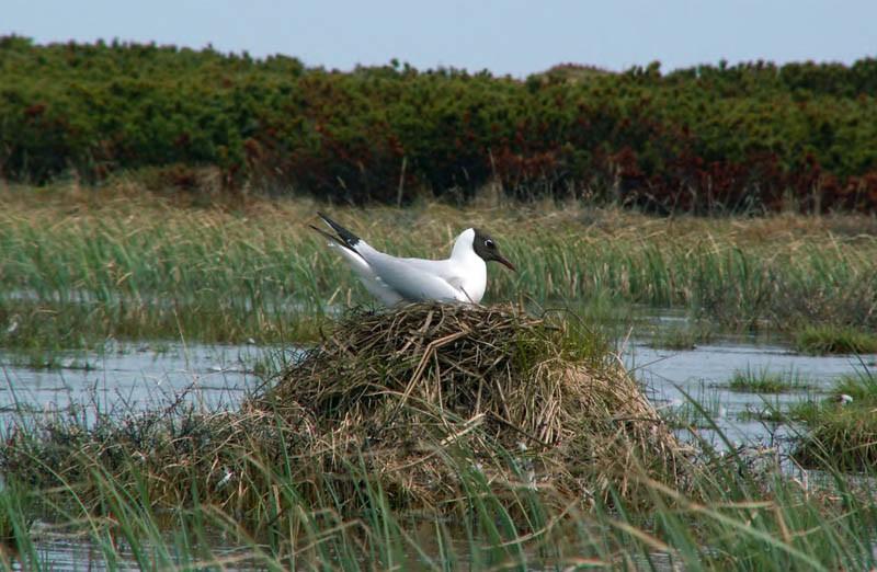 Озёрная чайка нагнезде. Северная коса залива Чайво, 17июня 2006 года