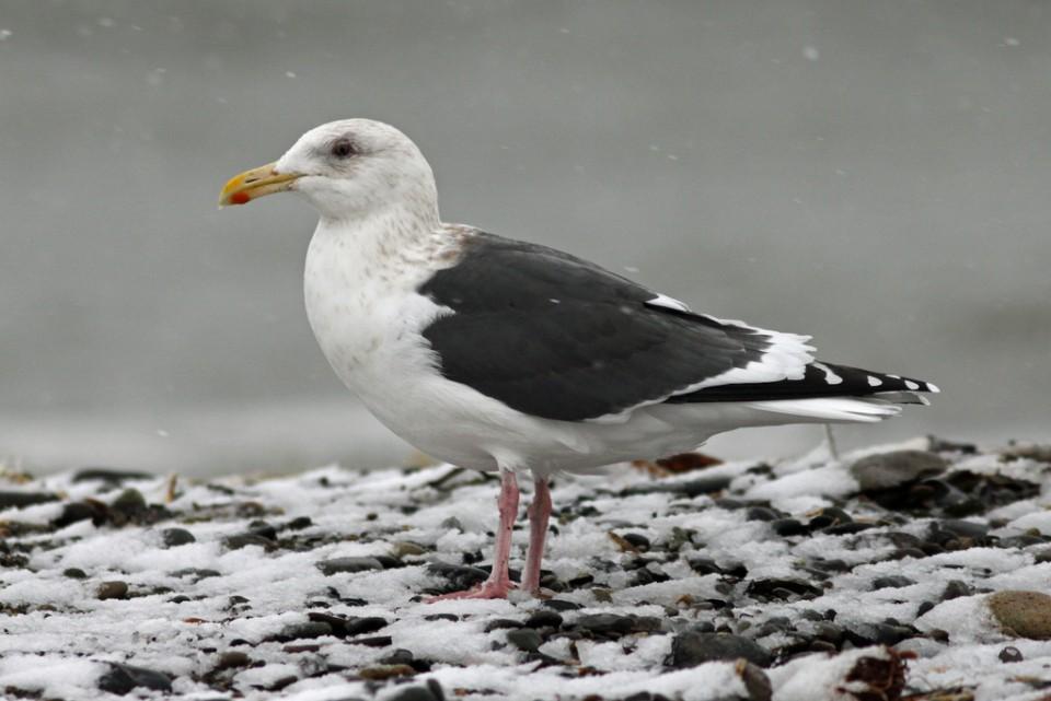Тихоокеанская чайка — Larus schistisagus