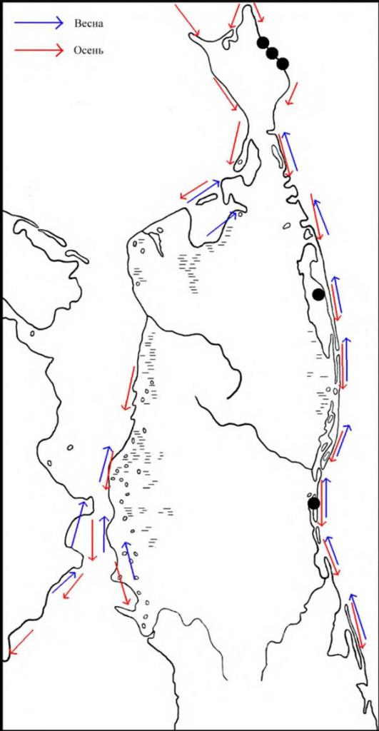 Места расположения колоний тихоокеанской чайки наСеверном Сахалине, атакже направления еёперемещений впериод сезонных миграций
