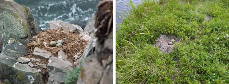 Места расположения гнёзд тихоокеанской чайки