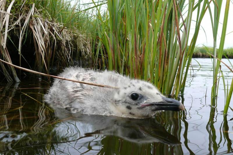 20-суточный птенец тихоокеанской чайки наострове Лярво (залив Даги), 17июля 2009 года