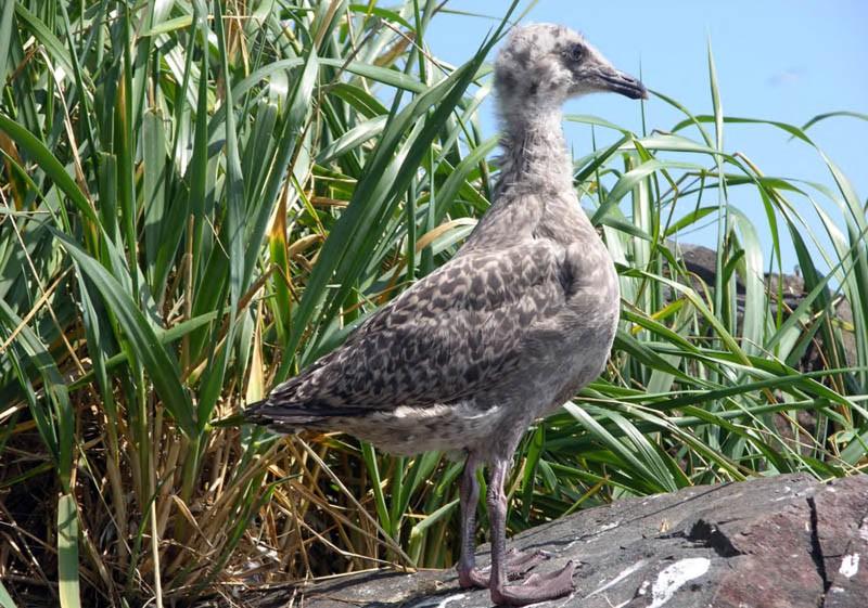 40-суточный птенец тихоокеанской чайки