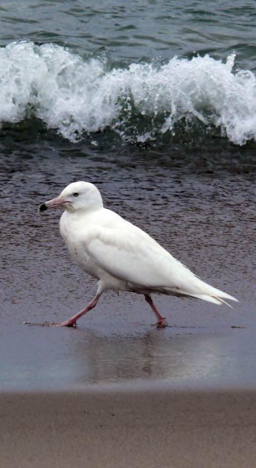 Бургомистр (наряд 2-го года) назаливе Мелководный (залив Пильтун), 18июня 2008 года