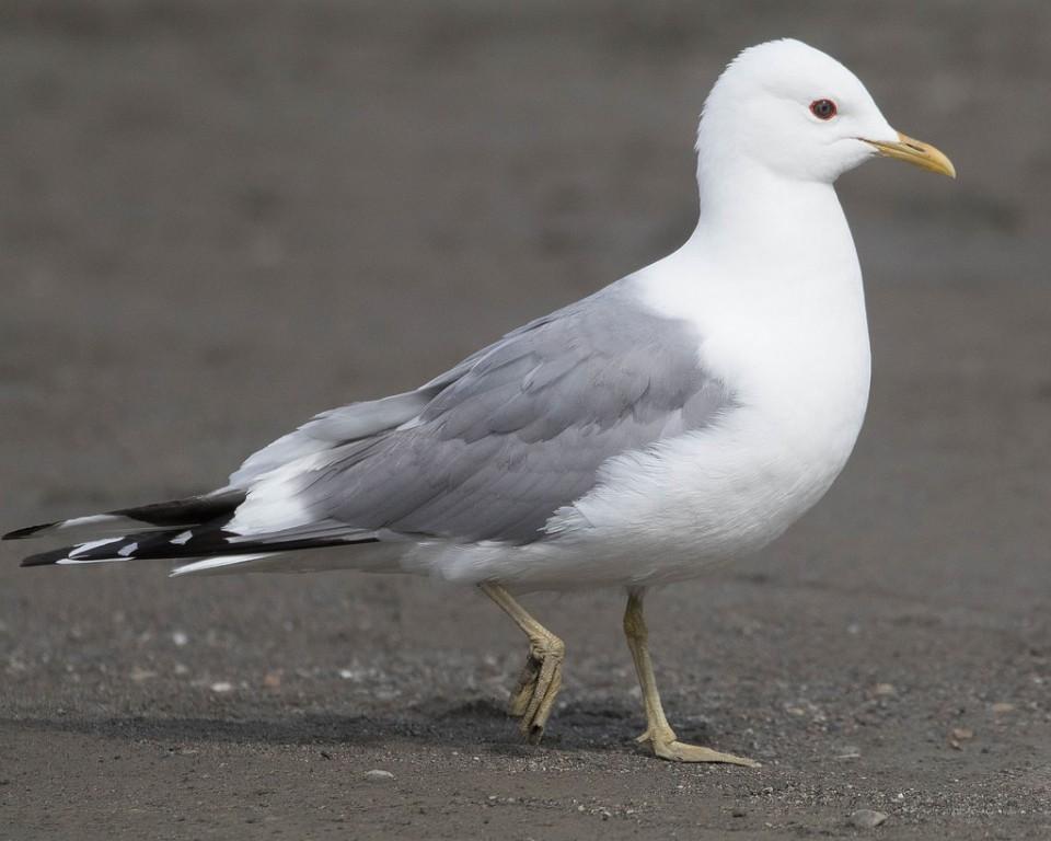 Сизая чайка — Larus canus kamtschatkensis
