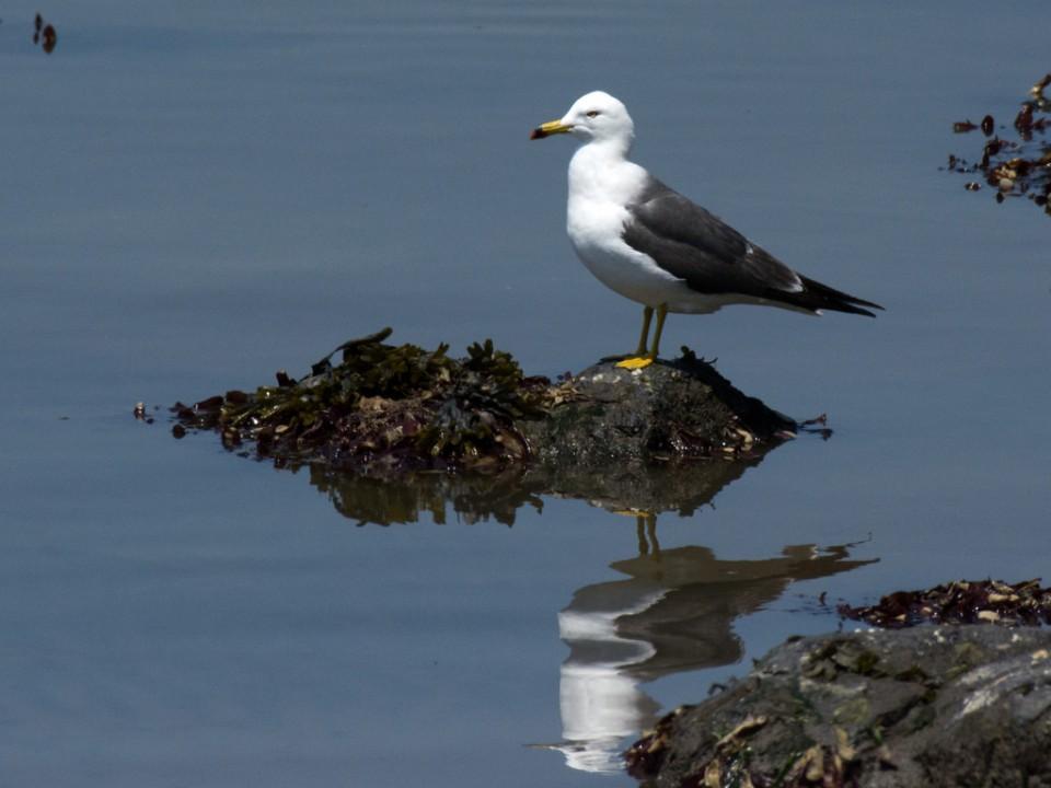 Чернохвостая чайка — Larus crassirostris