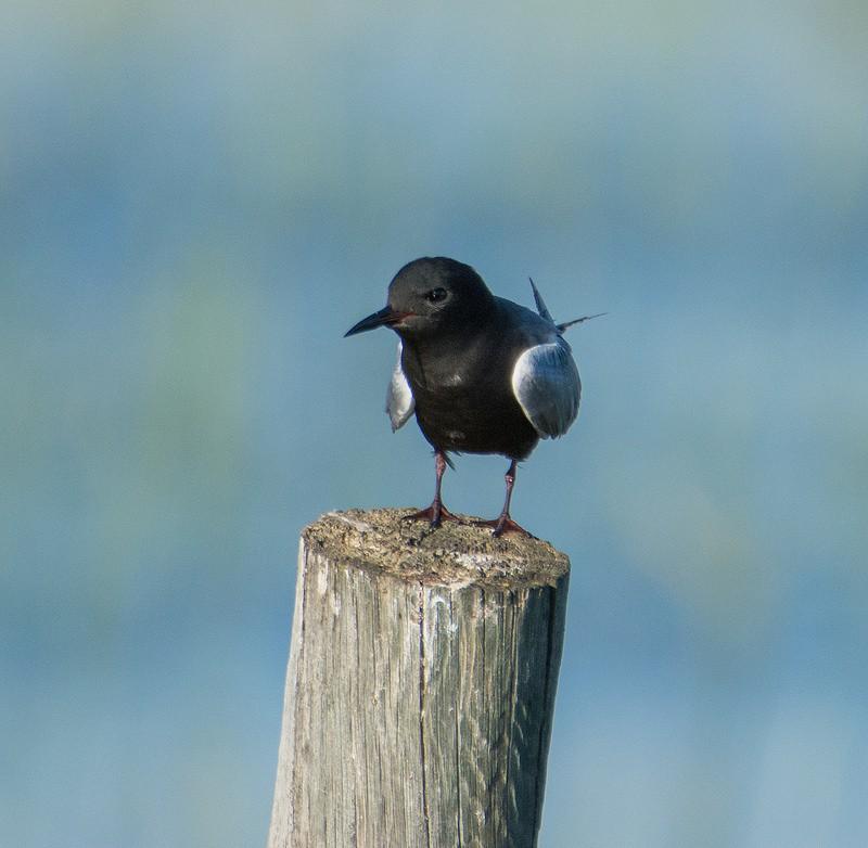 Чёрная крачка — Chlidonias niger niger