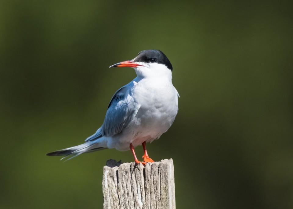Речная крачка — Sterna hirundo longipennis