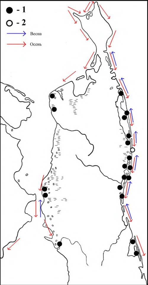 Места расположения колоний речной крачки (1) ивстречи полярной крачки (2) наСеверном Сахалине инаправления сезонных перемещений речной крачки