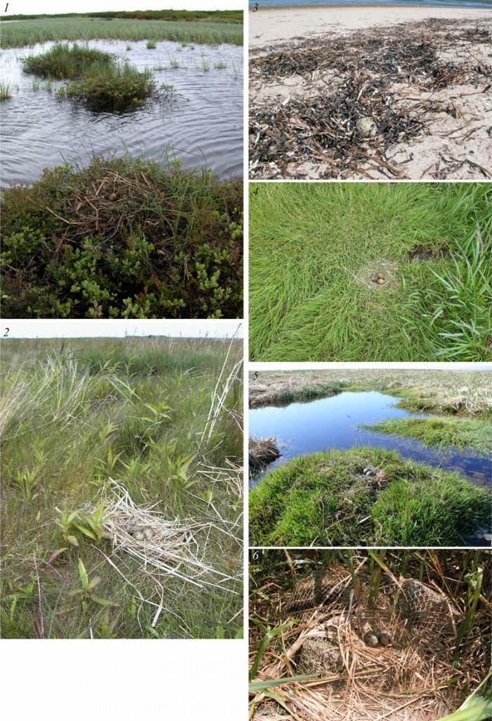 Места расположения гнёзд речной крачки напобережье заливов Чайво иПильтун