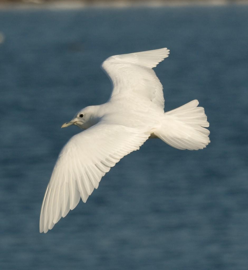 Белая чайка — Pagophila eburnea