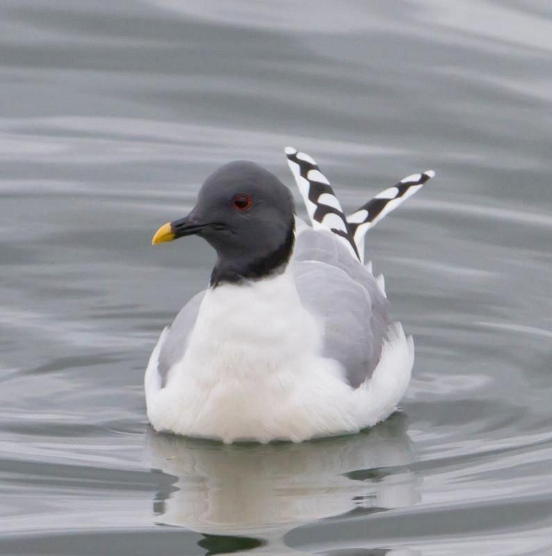 Вилохвостая чайка — Xema sabini