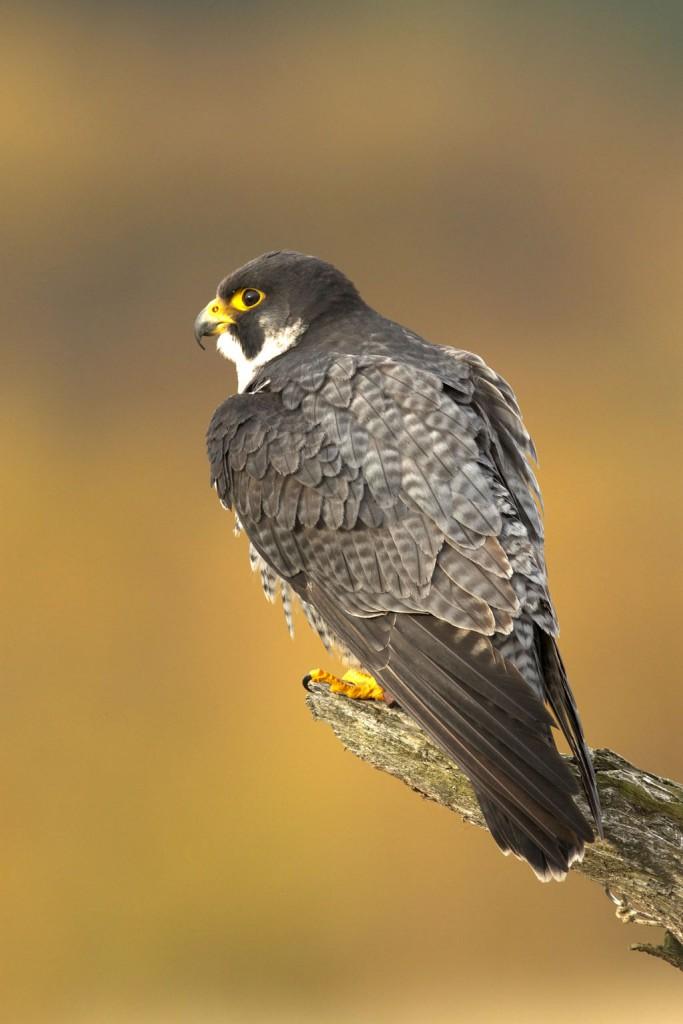 Сокол-сапсан — Falco peregrinus