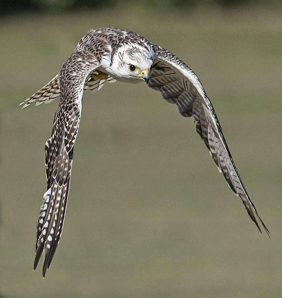 Сокол-кречет — Falco gyrfalco