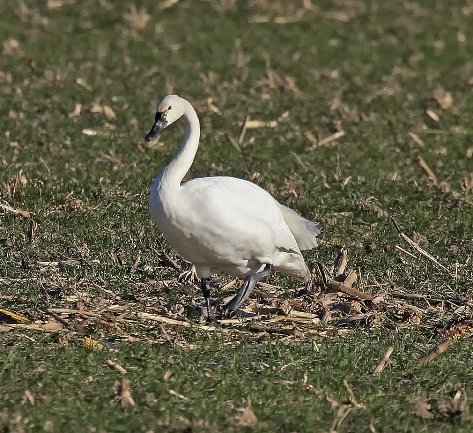 Тундровый лебедь — Cygnus bewicki